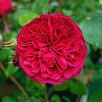 Роза Флорибунда Ред Леонардо да Винчи (Red Leonardo da Vinci)