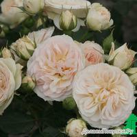 Роза ФлорибундаПастелла (Pastella)