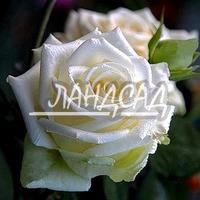 Чайно-гибридная роза Анастасия (Anastasia)