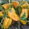 Джемини F1 семена перца сладкого (Nunhems / Нюнемс)